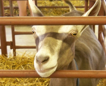 4h_goat